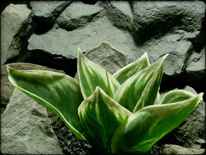 Artificial Silk Variegated Hosta Leaves - Artificial Reptile Plant - srp331 3