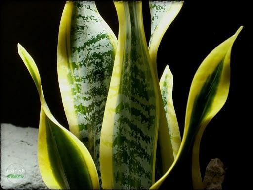 Artificial Snake Plant Sansevieria - reptile plant - ron beck designs prp285 4
