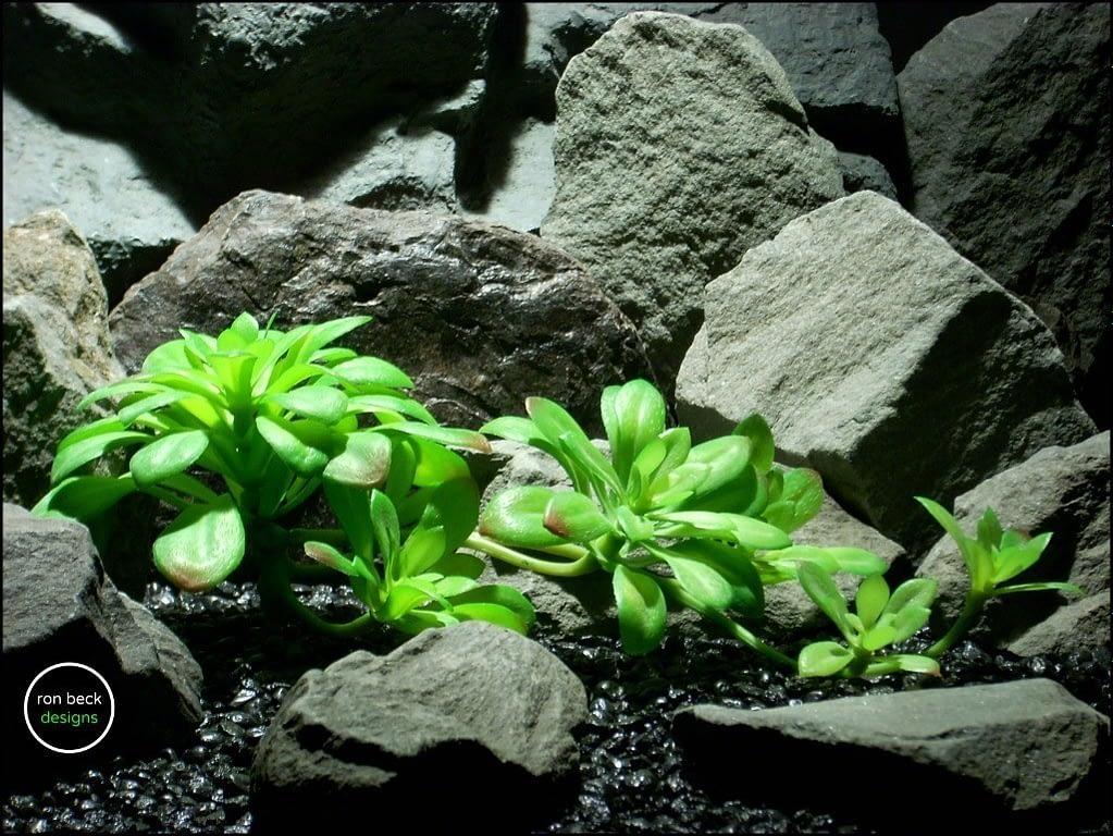 reptile terrarium plant bright green echeveria stem succulent from ron beck designs. prp197
