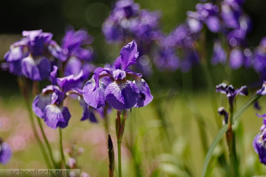 purple iris | steve schoefisch photography