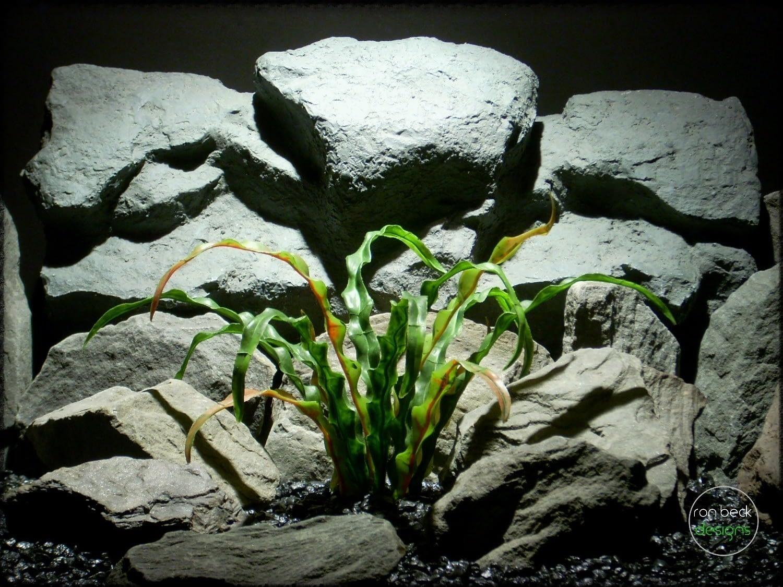 Bird's Nest Fern reptile plant prp251